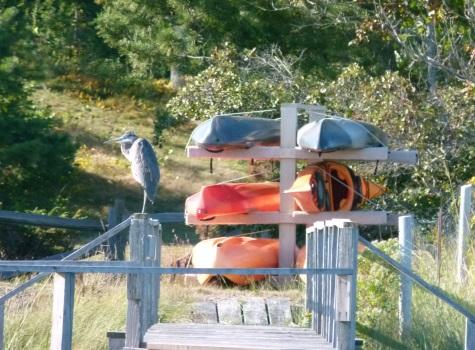 Great Blue Heron - photo by Debi James