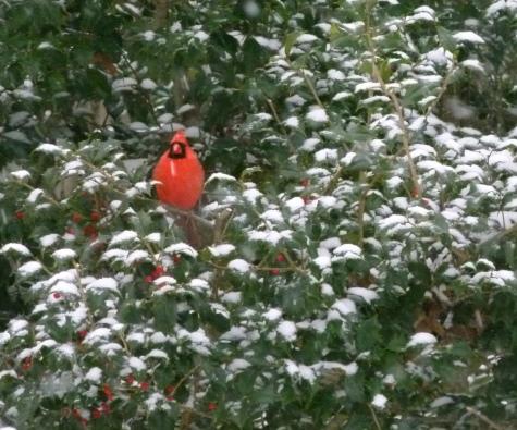 Cardinal - photo by Debi James