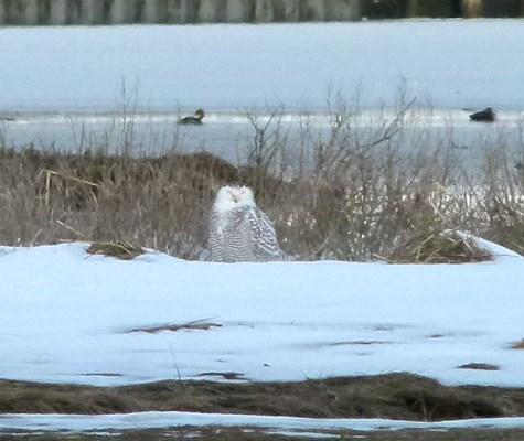 Snowy Owl - photo by Debi James