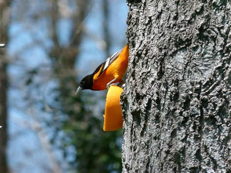 Baltimore Oriole - photo by Debi James