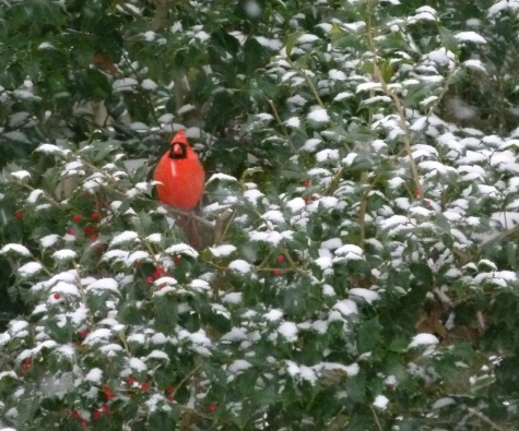 Cardinal - photo by Debi James